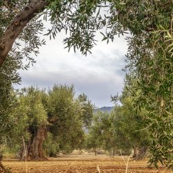 Historia del aceite de oliva: todo sobre su origen