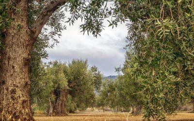 Origen e historia del aceite de oliva